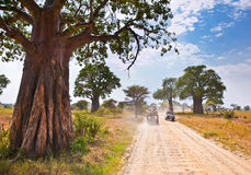 Huge African trees and safari jeeps in Tanzania. Royalty Free Stock Images