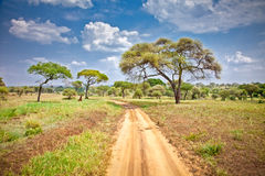 Huge African trees in Tanzania. Stock Image