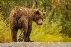 Huge alaskan bear leavaing and giving bye-bye. Close encounter with bbrown bear, very close meeting with a big young brown bear in Alaska, not interested in stock image
