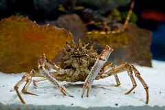 Huge alaskan king crab stands in the aquarium Stock Photo
