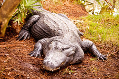 Huge Alligator Stock Photography
