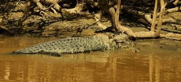 Huge Alligator in the Amazonas River. Madidi National Park, Bolivia royalty free stock image