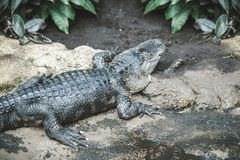 Huge alligator crawling on rocky surface in the jungle.  royalty free stock photography