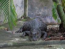 Huge alligator lying on a concrete floor in a crocodile farm stock photo