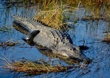 Huge Alligator in The Everglades Royalty Free Stock Photography