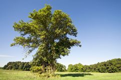 Huge alone tree with ladder horizontal Stock Image