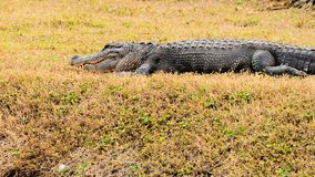 Huge American alligator Stock Images