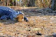 Huge American alligator, Florida wetlands Royalty Free Stock Photography