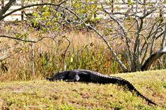 Huge American alligator resting in wetlands Stock Photography