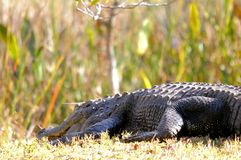 Huge American alligator in wetlands Stock Photo