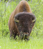 Huge American bison Stock Image