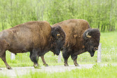 Huge American bisons Stock Photos