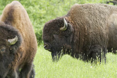 Huge American bisons Royalty Free Stock Photos