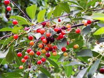 A huge amount of cherries. The view of the cherry. The cherry on the tree stock photos