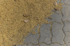 Huge amount of paddy rice on the ground. Royalty Free Stock Photo