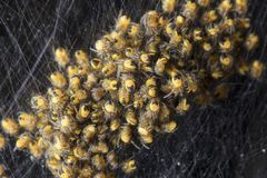 Huge amount of small yellow-black spiders. Close up Stock Images