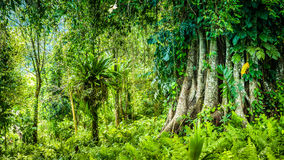 Huge ancient Banyan tree covered by vines in Bali Jungle.  royalty free stock images
