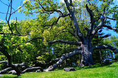 Huge Ancient Oak Tree Stock Photography