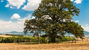 Huge ancient oak tree royalty free stock photography