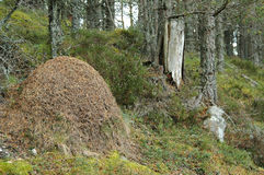 A huge ant hill mound in a wood in Scotland Royalty Free Stock Photo