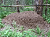 Huge anthill in the forest, fenced with poles and sticks royalty free stock photo