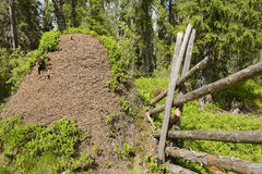 Huge anthill in the forest Stock Photo