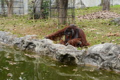 Huge ape in zoopark Royalty Free Stock Images
