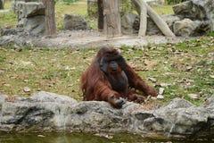 Huge ape in zoopark Stock Image