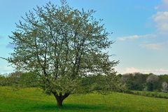 Huge apple tree in bloom in a buttercup meadow Stock Photos