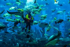 Huge aquarium in Dubai. Diver feeding fishes. Stock Image
