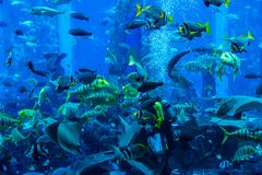 Huge aquarium in Dubai. Diver feeding fishes. Royalty Free Stock Photography
