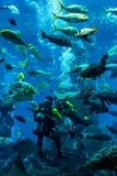 Huge aquarium in Dubai. Diver feeding fishes. Stock Photos