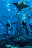 Huge aquarium in Dubai. Diver feeding fishes. Royalty Free Stock Photo