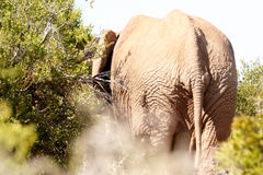 Huge. Addo Elephant National Park is a diverse wildlife conservation park situated close to Port Elizabeth in South Africa stock photography