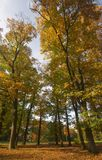 Huge Autumn Trees. Large trees shot with a wide angle lens for extra drama Royalty Free Stock Photos