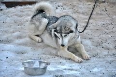 Husky dog looks at the bowl. Husky dog lying on the snow and looking at the bowl stock image