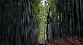 Huge Bamboo plants line a pathway through the famous bamboo forests of Japan. stock photos