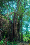 Huge Banyan tree in Bali village, Indonesia Royalty Free Stock Images