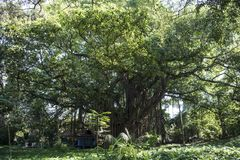 Huge banyan tree - Ficus benghalensis - in Havana, Cuba Stock Photos
