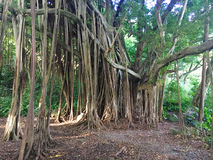 Huge banyan tree Royalty Free Stock Photography