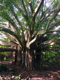 Huge banyan tree Stock Images