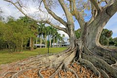 Huge Banyan tree or Moreton Bay fig in the back of the Edison and Ford Winter Estates in Fort Myers, USA. Huge Banyan tree or Moreton Bay fig in the back of the Stock Images