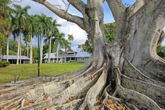 Huge Banyan tree or Moreton Bay fig in the back of the Edison and Ford Winter Estates in Fort Myers, USA. Huge Banyan tree or Moreton Bay fig in the back of the Stock Photos