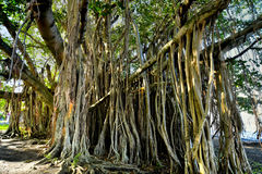 Huge banyan tree with roots from Mauritius. These banyan trees from Mauritius are more than a hundred years old Stock Photos