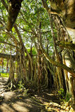 Huge banyan tree with roots from Mauritius Royalty Free Stock Photos