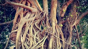 Huge Banyan Tree Trunk Branches and Roots Royalty Free Stock Photography