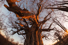 Huge Baobab plant in the african savannah with clear blue sky and sun star at sunset. Fisheye view from below. Botswana, one of th Royalty Free Stock Photos