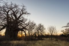 Huge Baobab plant in the african savannah with clear blue sky at sunrise. Botswana, one of the most attractive travel destionation Royalty Free Stock Photography