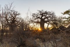 Huge Baobab plant in the african savannah with clear blue sky at sunrise. Botswana, one of the most attractive travel destionation Royalty Free Stock Photos