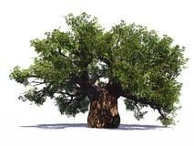Huge baobab tree isolated Royalty Free Stock Photography